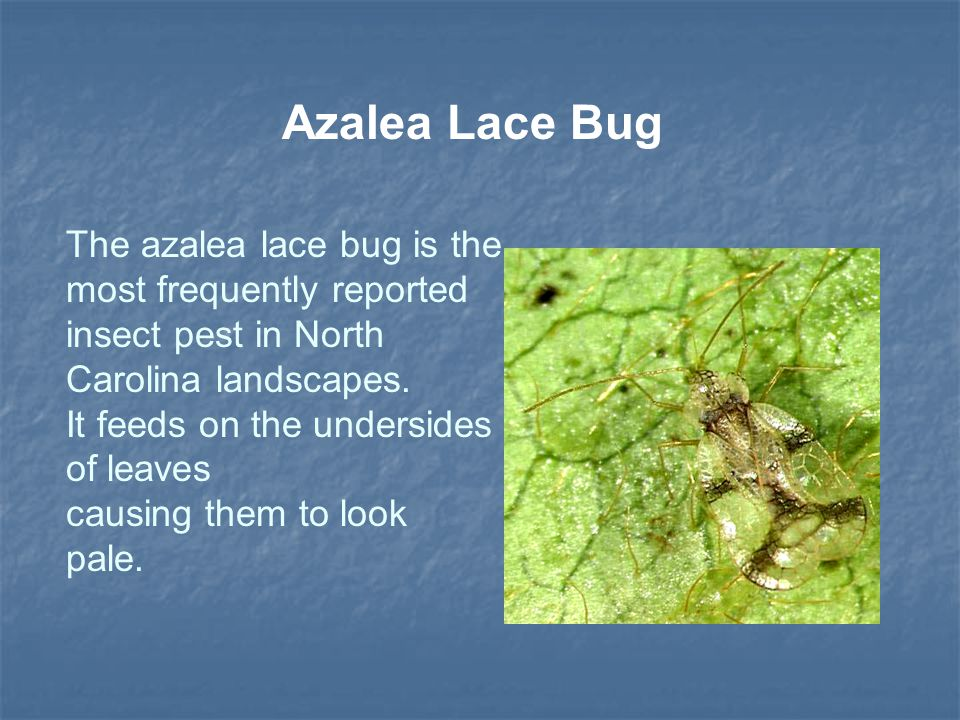 Azalea Lace Bug The azalea lace bug is the most frequently reported insect pest in North Carolina landscapes. It feeds on the undersides of leaves cau