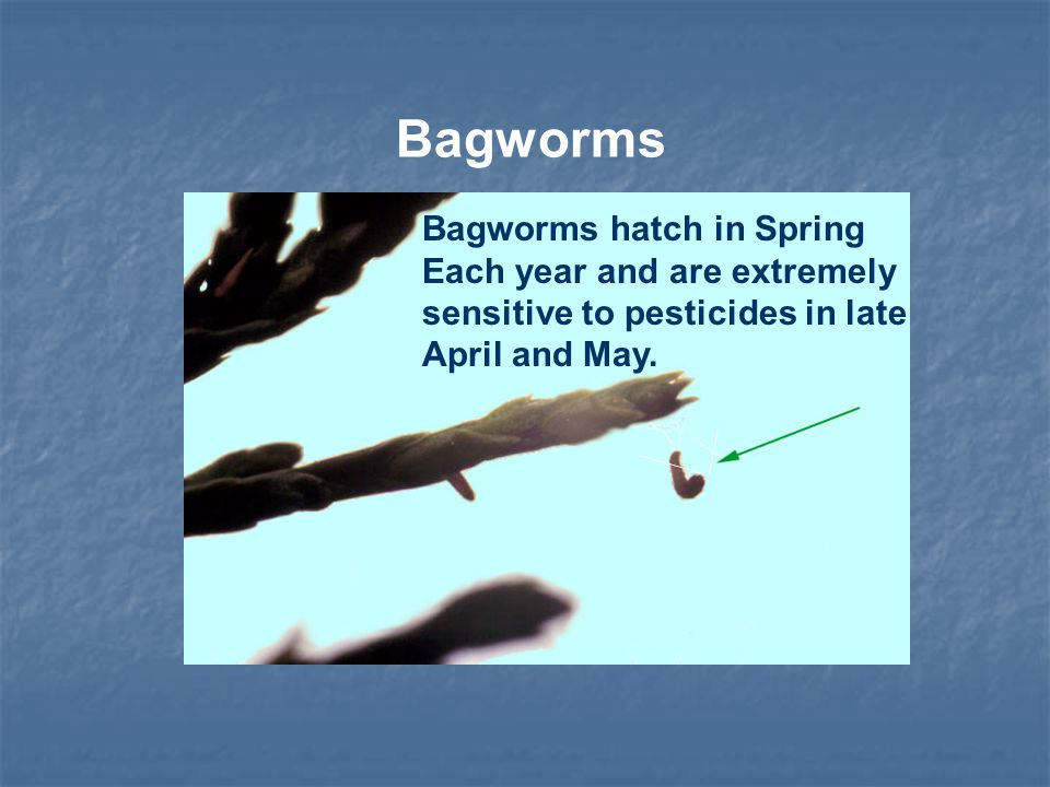 Bagworms hatch in Spring Each year and are extremely sensitive to pesticides in late April and May.