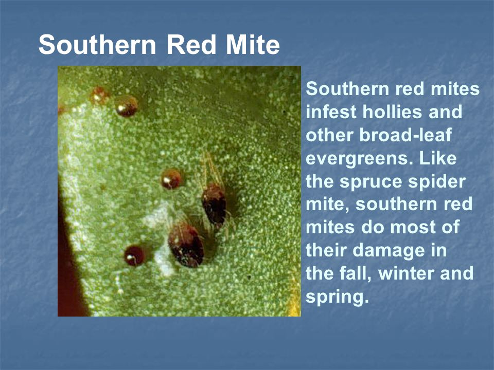 Southern Red Mite Southern red mites infest hollies and other broad-leaf evergreens. Like the spruce spider mite, southern red mites do most of their