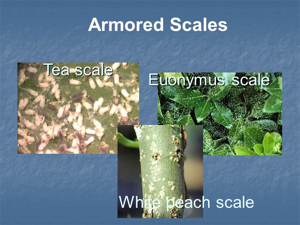 White peach scale Armored Scales Euonymus scale Tea scale