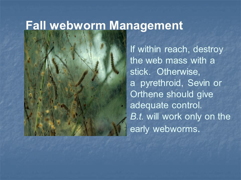 Fall webworm Management If within reach, destroy the web mass with a stick. Otherwise, a pyrethroid, Sevin or Orthene should give adequate control. B.