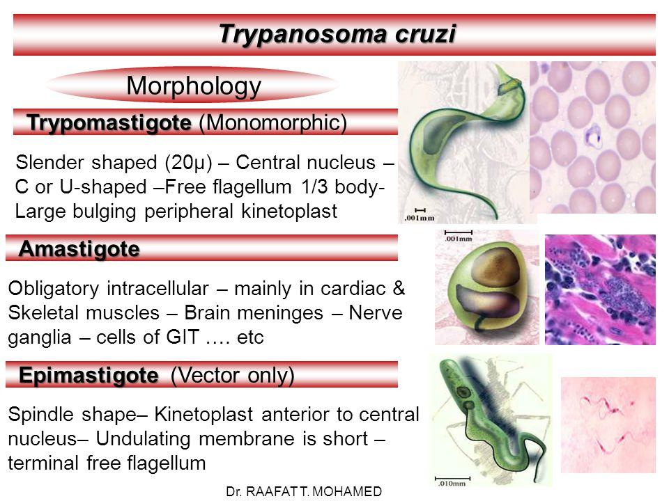 Trypanosoma cruzi Morphology Trypomastigote Trypomastigote (Monomorphic) Slender shaped (20µ) – Central nucleus – C or U-shaped –Free flagellum 1/3 body- Large bulging peripheral kinetoplast Amastigote Obligatory intracellular – mainly in cardiac & Skeletal muscles – Brain meninges – Nerve ganglia – cells of GIT ….
