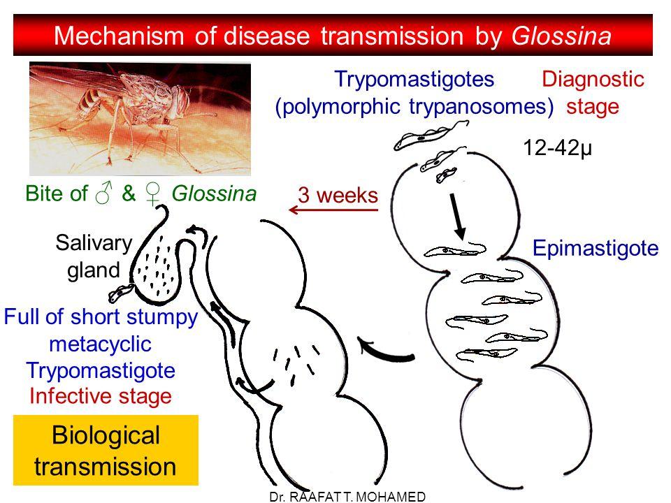 Mechanism of disease transmission by Glossina Bite of ♂ & ♀ Glossina Trypomastigotes (polymorphic trypanosomes) Diagnostic stage 12-42µ Epimastigote Full of short stumpy metacyclic Trypomastigote 3 weeks Infective stage Biological transmission Salivary gland Dr.
