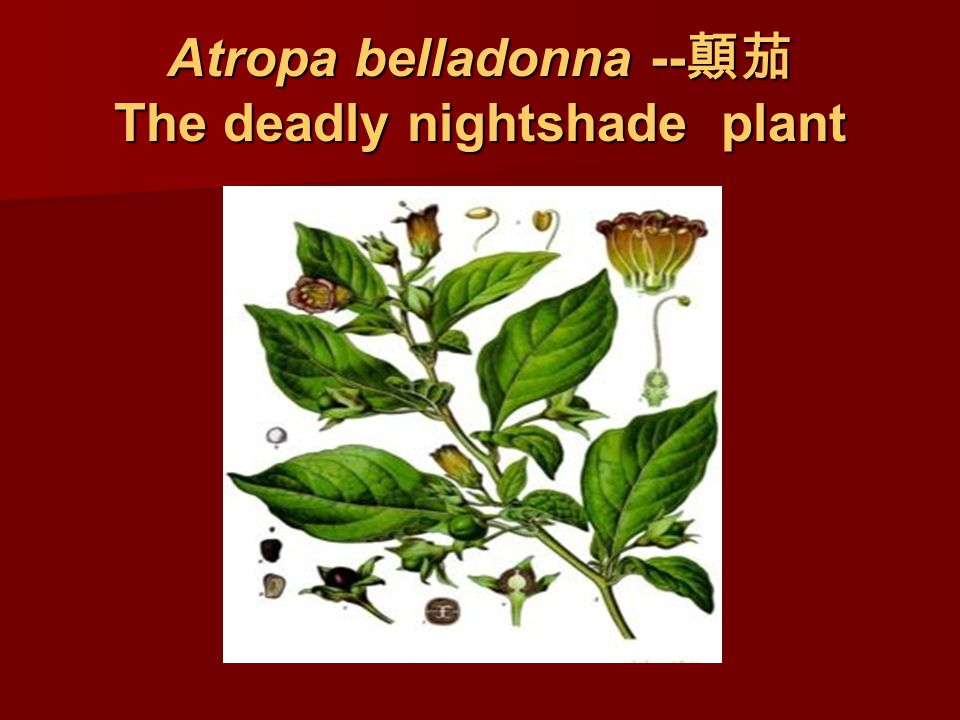 Atropa belladonna -- 顛茄 The deadly nightshade plant
