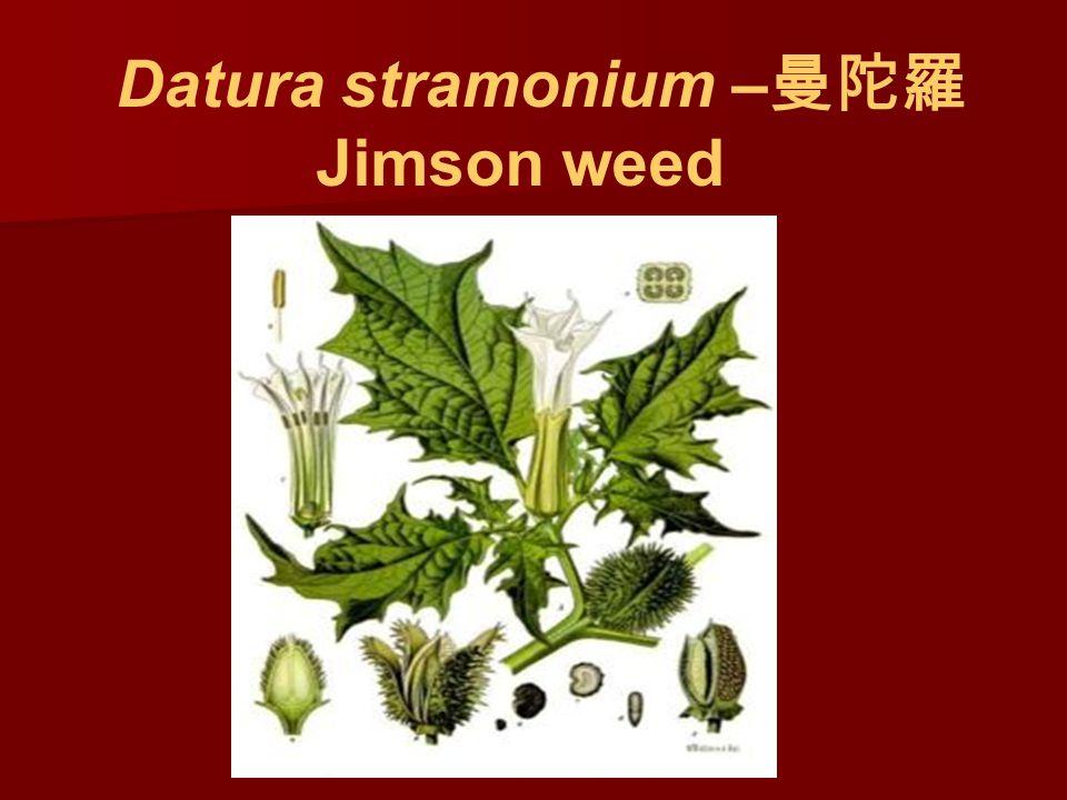 Datura stramonium – 曼陀羅 Jimson weed