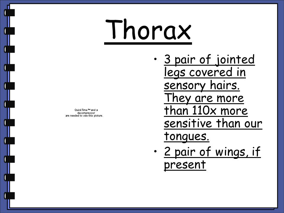 Thorax 3 pair of jointed legs covered in sensory hairs. They are more than 110x more sensitive than our tongues. 2 pair of wings, if present