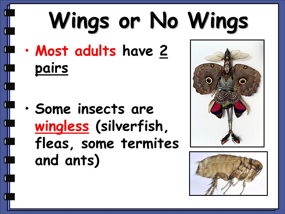 Wings or No Wings Most adults have 2 pairs Some insects are wingless (silverfish, fleas, some termites and ants)