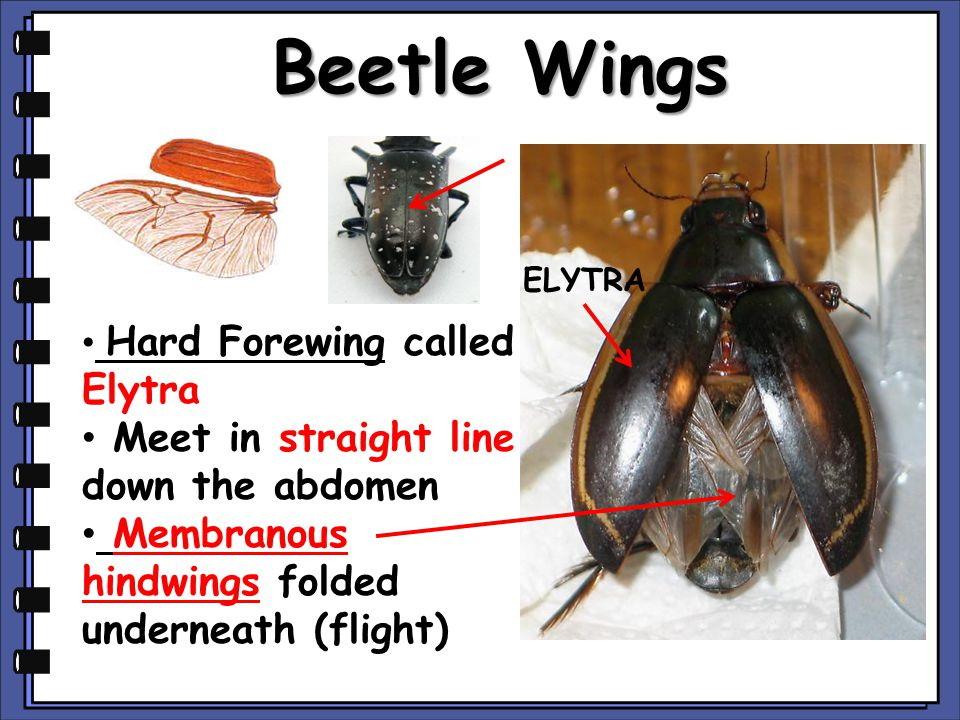 Beetle Wings Hard Forewing called Elytra Meet in straight line down the abdomen Membranous hindwings folded underneath (flight) ELYTRA