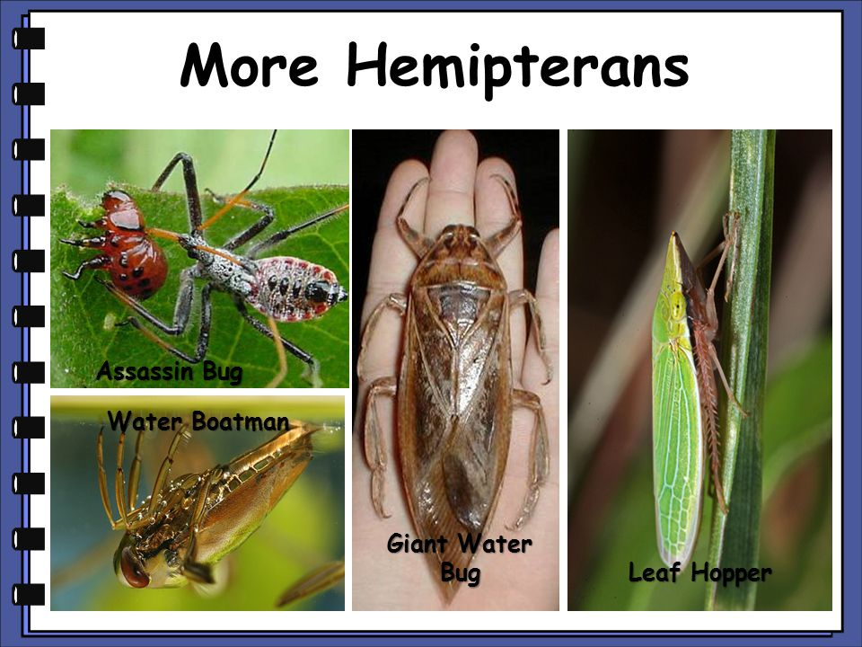 More Hemipterans Assassin Bug Giant Water Bug Leaf Hopper Water Boatman