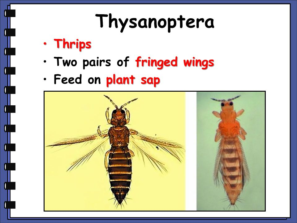 Thysanoptera ThripsThrips fringed wingsTwo pairs of fringed wings plant sapFeed on plant sap