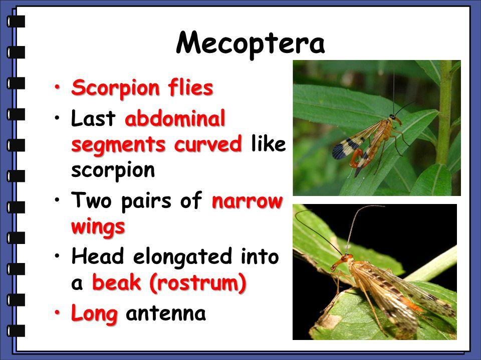 Mecoptera Scorpion fliesScorpion flies abdominal segments curvedLast abdominal segments curved like scorpion narrow wingsTwo pairs of narrow wings bea