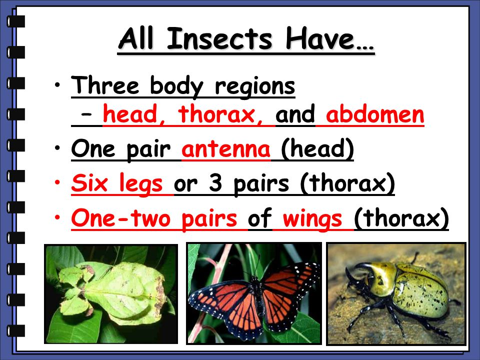 All Insects Have… Three body regions – head, thorax, and abdomen One pair antenna (head) Six legs or 3 pairs (thorax) One-two pairs of wings (thorax)