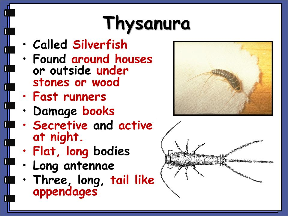 Thysanura Called Silverfish Found around houses or outside under stones or wood Fast runners Damage books Secretive and active at night. Flat, long bo