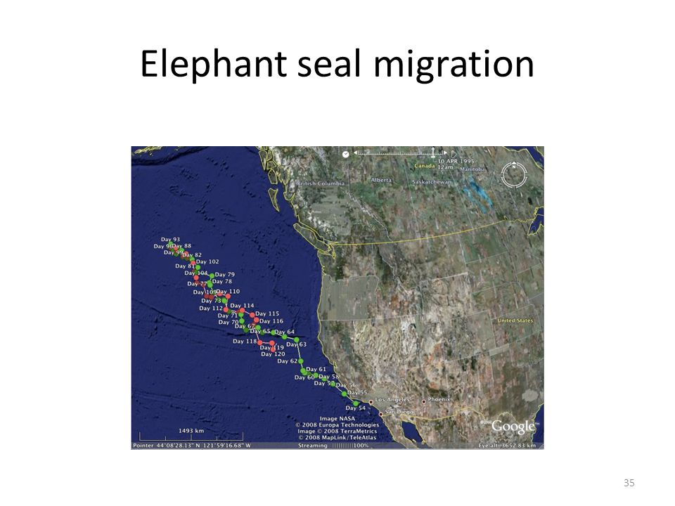 35 Elephant seal migration