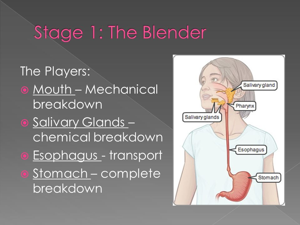 The Players:  Mouth – Mechanical breakdown  Salivary Glands – chemical breakdown  Esophagus - transport  Stomach – complete breakdown