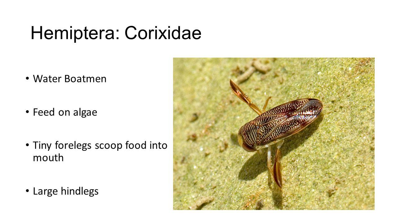 Hemiptera: Corixidae Water Boatmen Feed on algae Tiny forelegs scoop food into mouth Large hindlegs