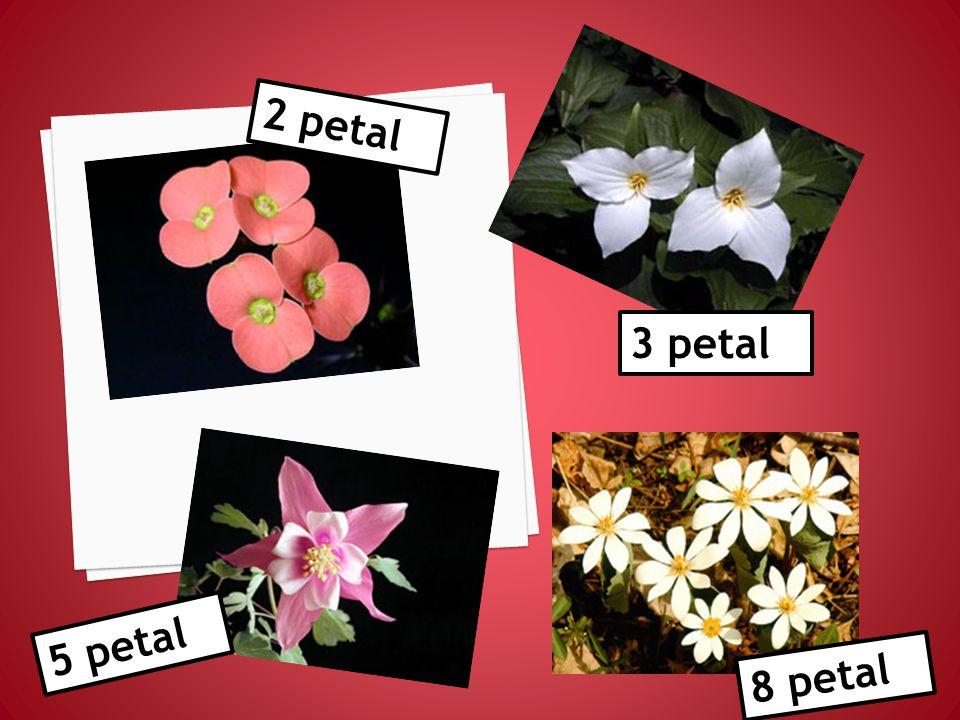 13 petal 21 petal 34 petal
