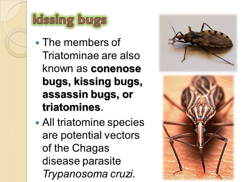 conenose bugs, kissing bugs, assassin bugs, or triatomines The members of Triatominae are also known as conenose bugs, kissing bugs, assassin bugs, or
