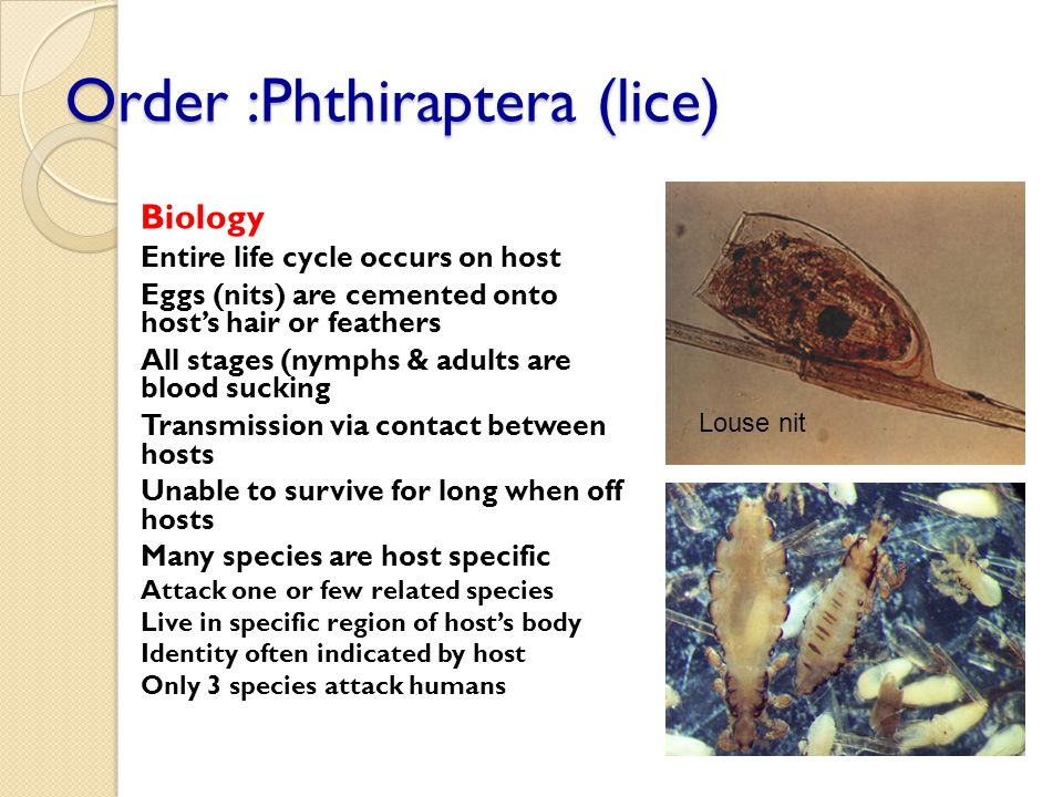 Order :Phthiraptera (lice) Biology Entire life cycle occurs on host Eggs (nits) are cemented onto host's hair or feathers All stages (nymphs & adults