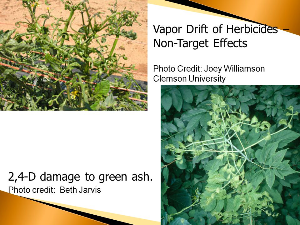 Vapor Drift of Herbicides – Non-Target Effects Photo Credit: Joey Williamson Clemson University 2,4-D damage to green ash.