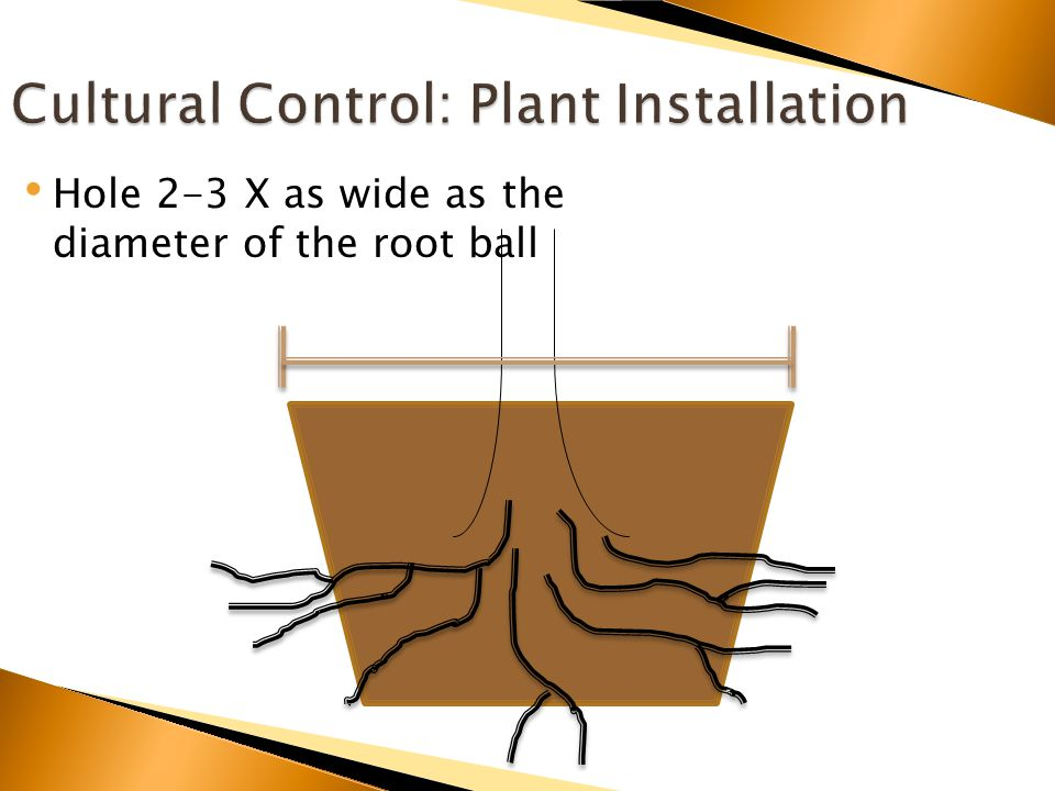 Hole 2-3 X as wide as the diameter of the root ball
