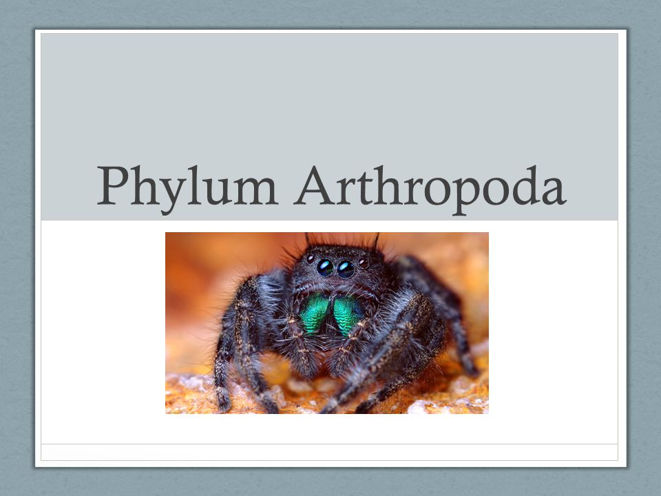 Other Arthropod Characters Respiratory Systems: -Gills in aquatic/marine arthropods -Book lungs (modified gills) in spiders & scorpions -Tracheal systems in most terrestrial arthropods