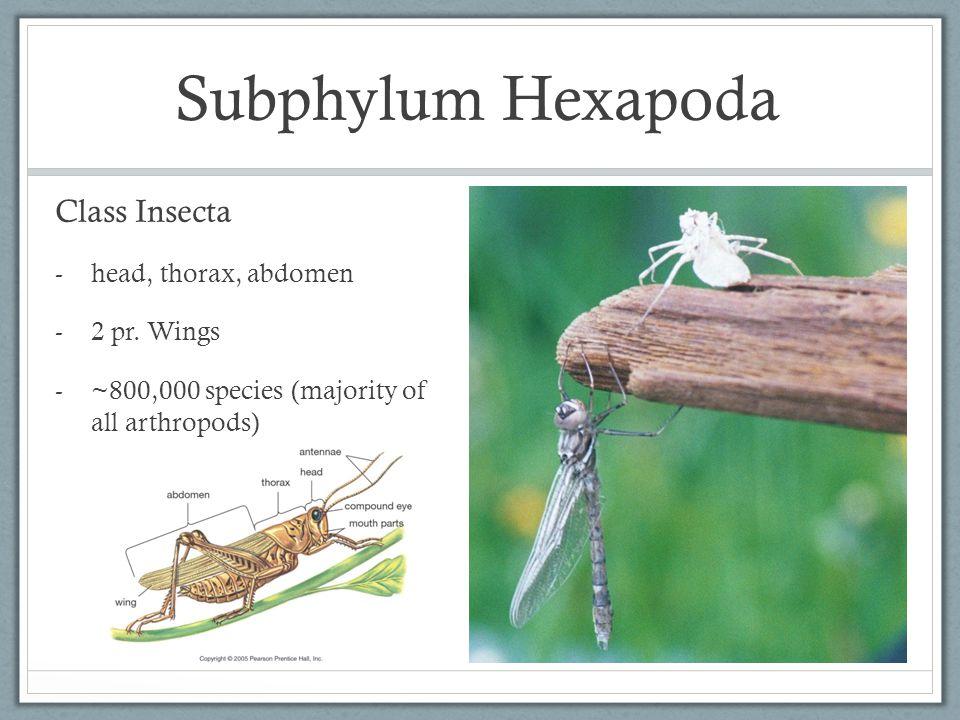 Subphylum Hexapoda Class Insecta -head, thorax, abdomen -2 pr. Wings -~800,000 species (majority of all arthropods)