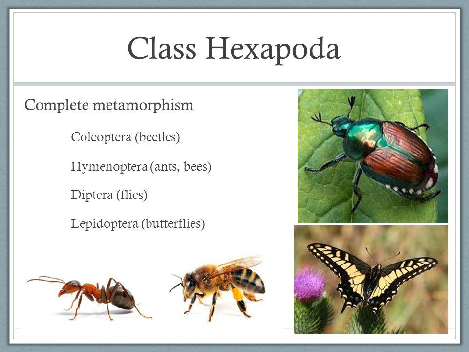 Class Hexapoda Complete metamorphism Coleoptera (beetles) Hymenoptera (ants, bees) Diptera (flies) Lepidoptera (butterflies)