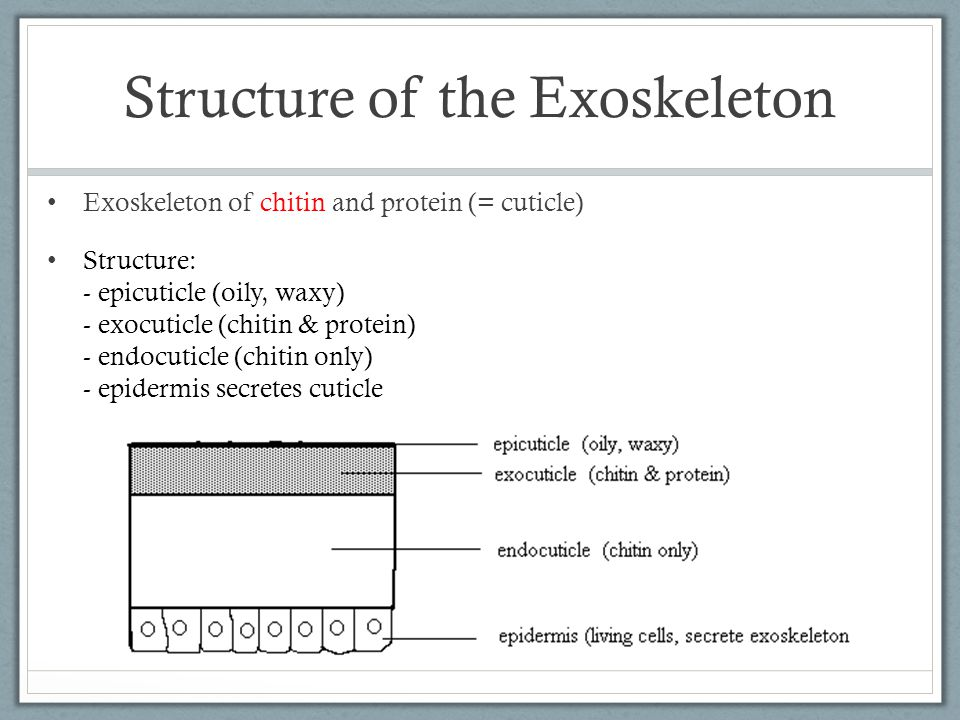 Structure of the Exoskeleton Exoskeleton of chitin and protein (= cuticle) Structure: - epicuticle (oily, waxy) - exocuticle (chitin & protein) - endocuticle (chitin only) - epidermis secretes cuticle
