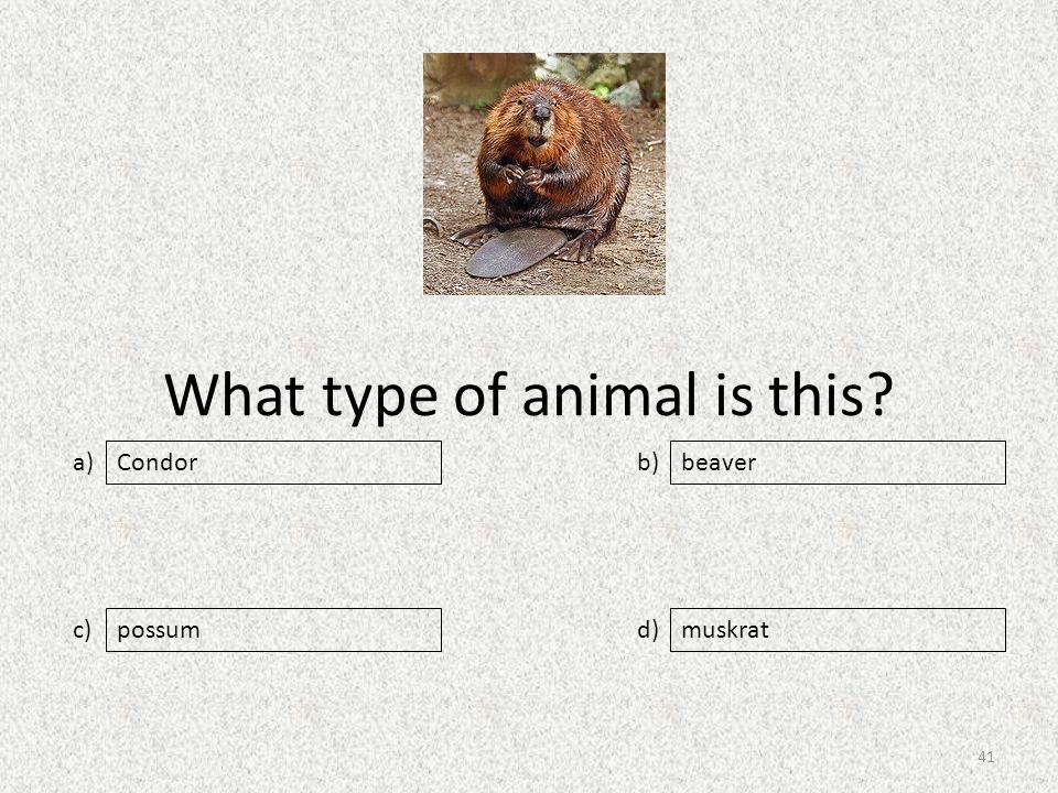 What type of animal is this a) c) b) d) beaver possummuskrat Condor 41
