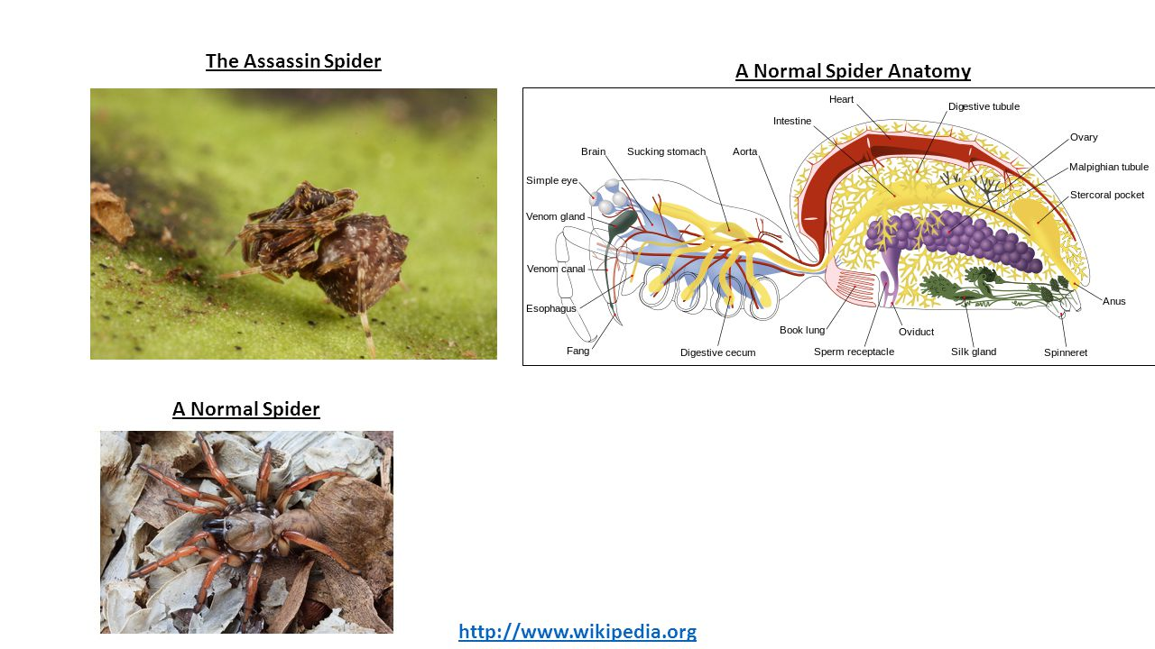 The Assassin Spider A Normal Spider A Normal Spider Anatomy http://www.wikipedia.org