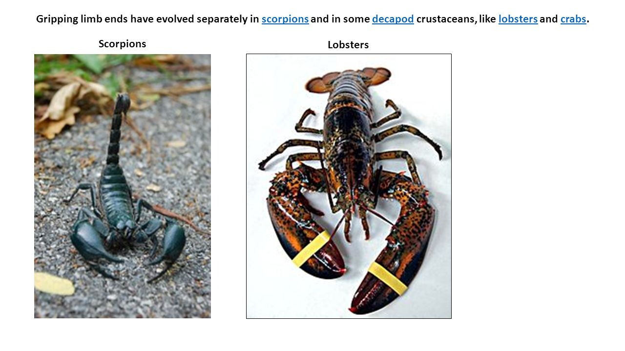 Gripping limb ends have evolved separately in scorpions and in some decapod crustaceans, like lobsters and crabs.scorpionsdecapodlobsterscrabs Scorpio