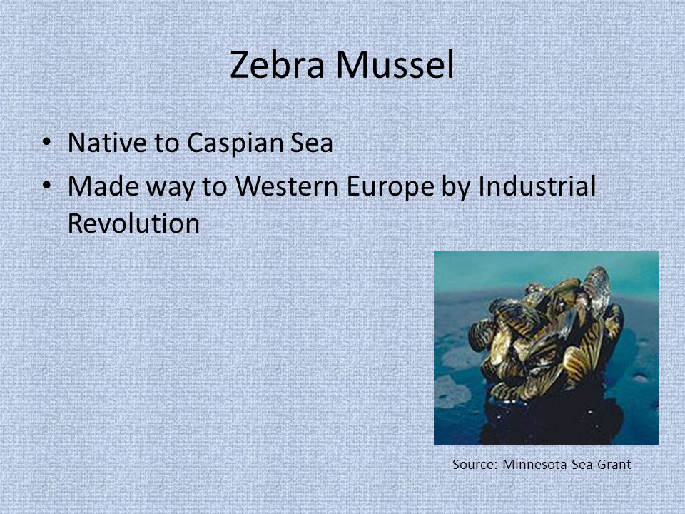 Zebra Mussel Native to Caspian Sea Made way to Western Europe by Industrial Revolution Source: Minnesota Sea Grant