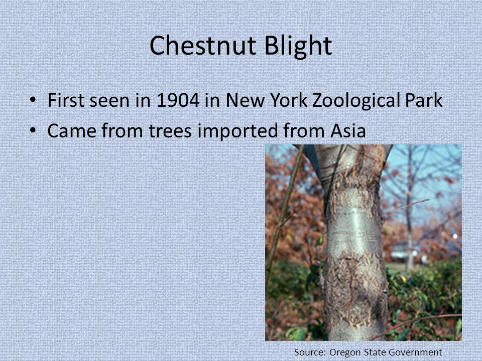Chestnut Blight First seen in 1904 in New York Zoological Park Came from trees imported from Asia Source: Oregon State Government