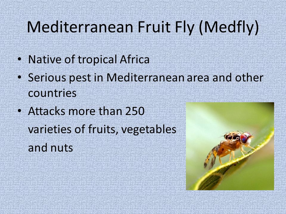 Mediterranean Fruit Fly (Medfly) Native of tropical Africa Serious pest in Mediterranean area and other countries Attacks more than 250 varieties of fruits, vegetables and nuts