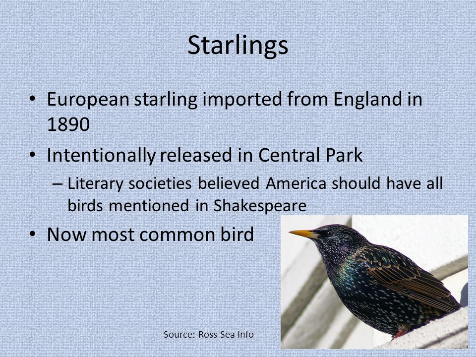Starlings European starling imported from England in 1890 Intentionally released in Central Park – Literary societies believed America should have all birds mentioned in Shakespeare Now most common bird Source: Ross Sea Info