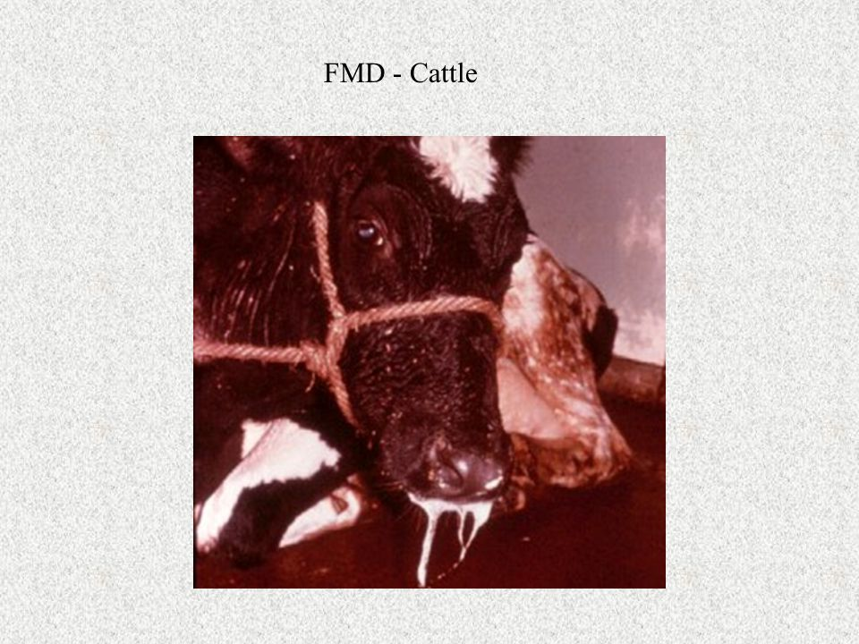 FMD - Cattle