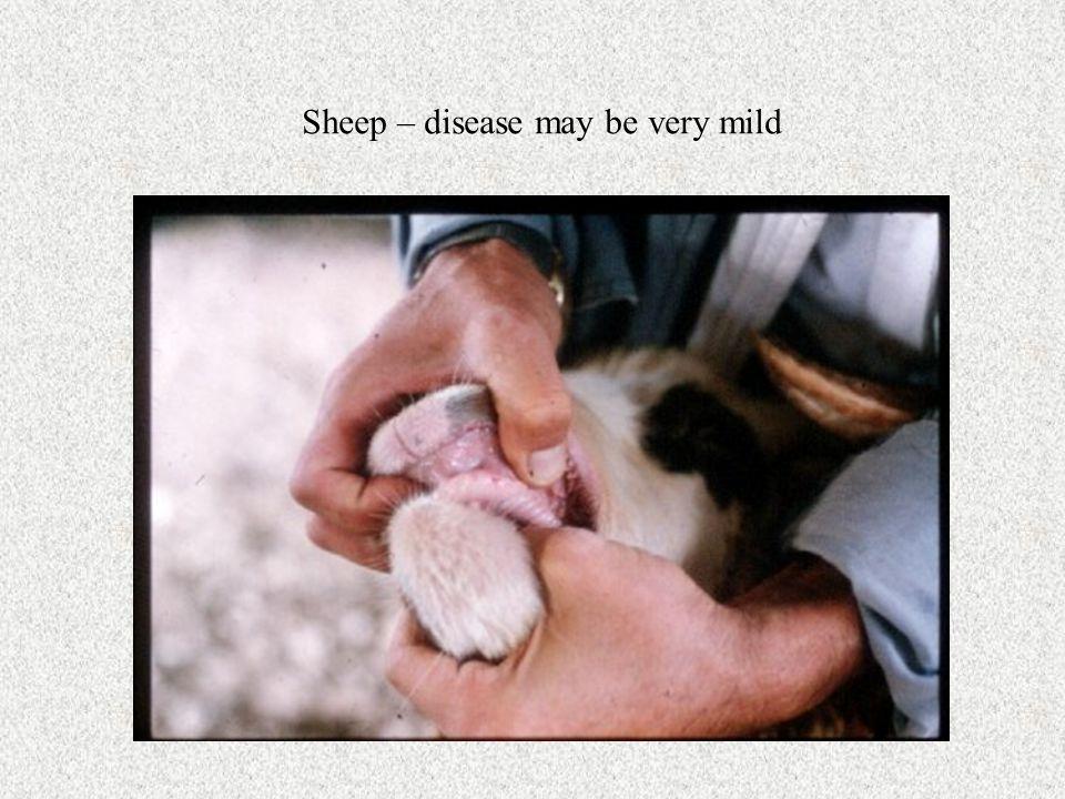 Sheep – disease may be very mild