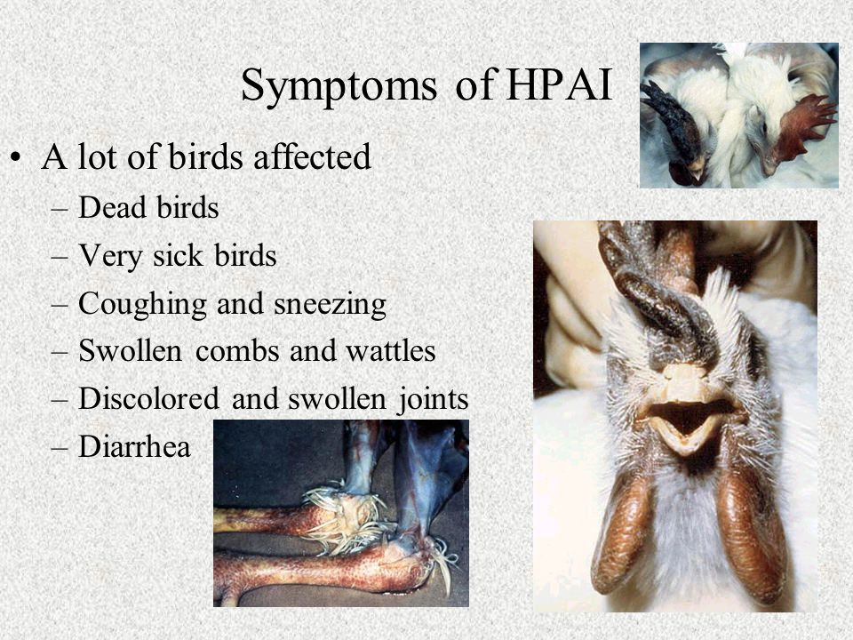 Symptoms of HPAI A lot of birds affected –Dead birds –Very sick birds –Coughing and sneezing –Swollen combs and wattles –Discolored and swollen joints –Diarrhea