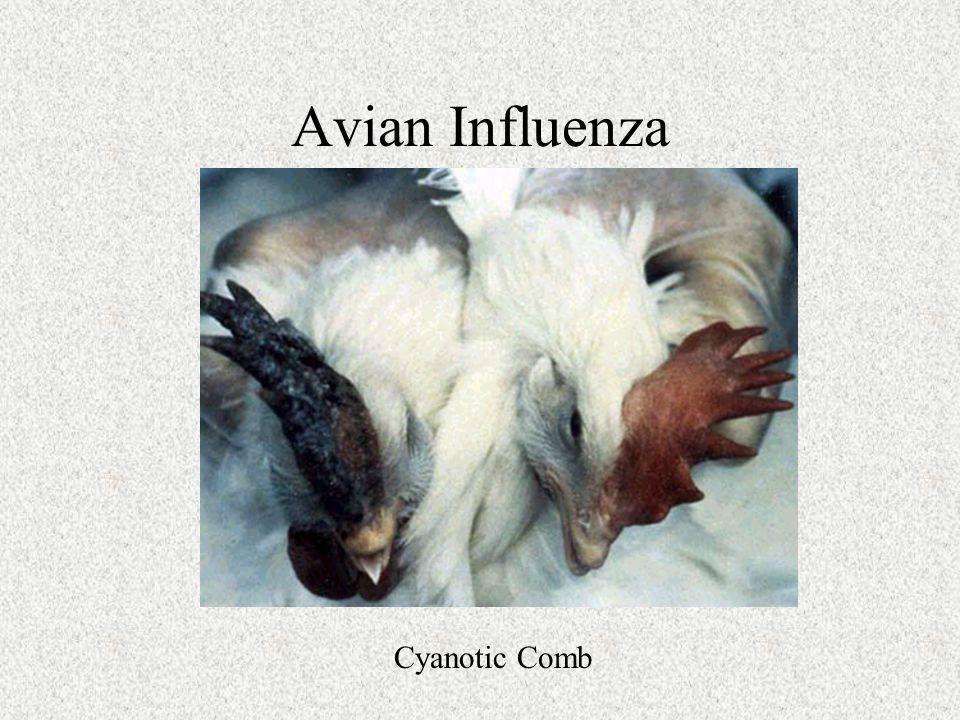 Cyanotic Comb
