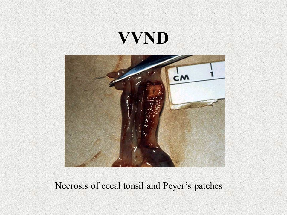 VVND Necrosis of cecal tonsil and Peyer's patches