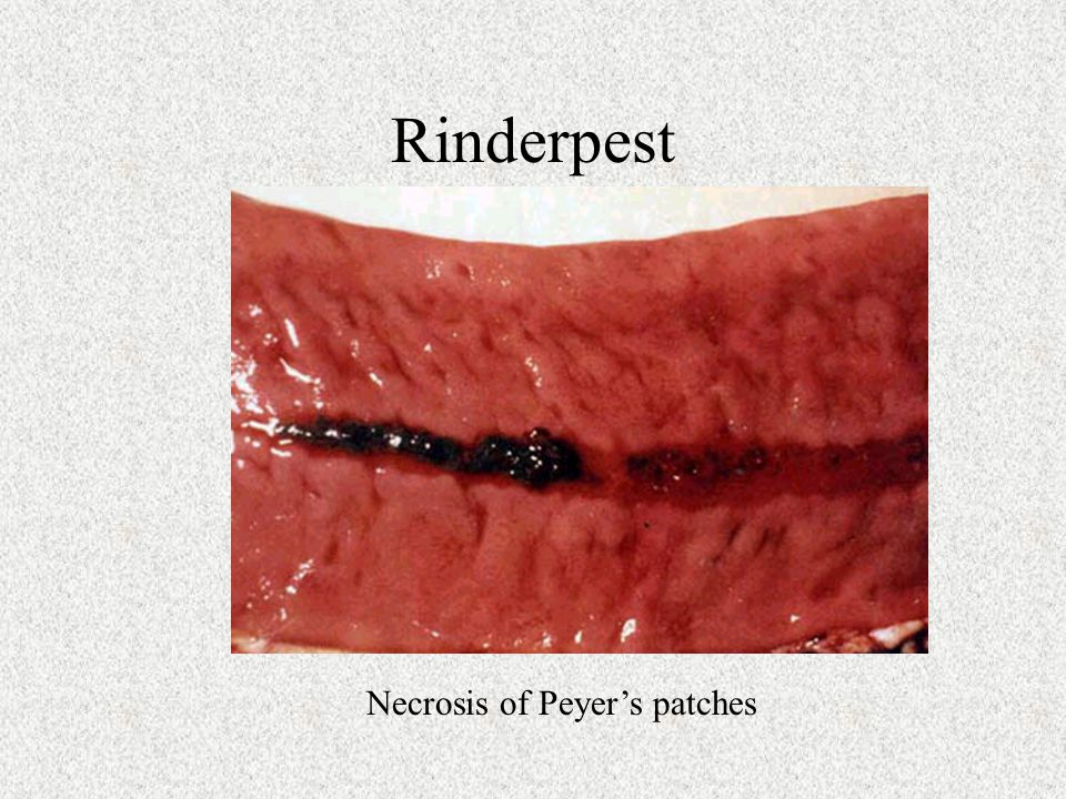 Rinderpest Necrosis of Peyer's patches
