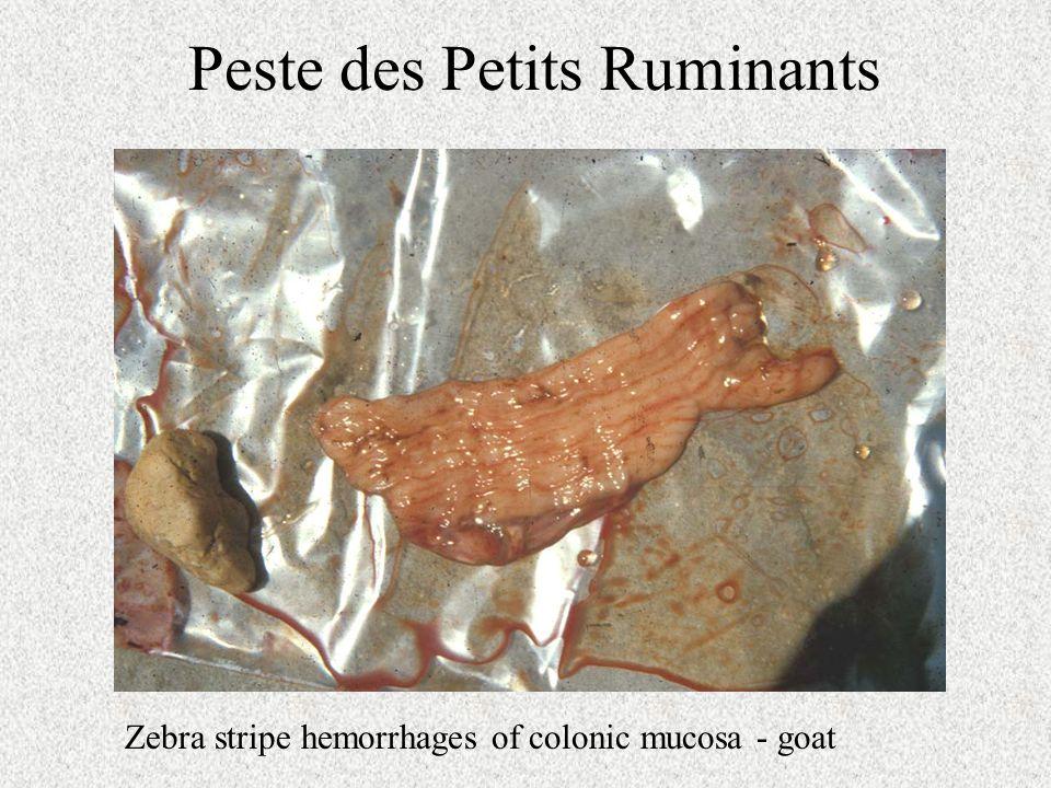 Peste des Petits Ruminants Zebra stripe hemorrhages of colonic mucosa - goat