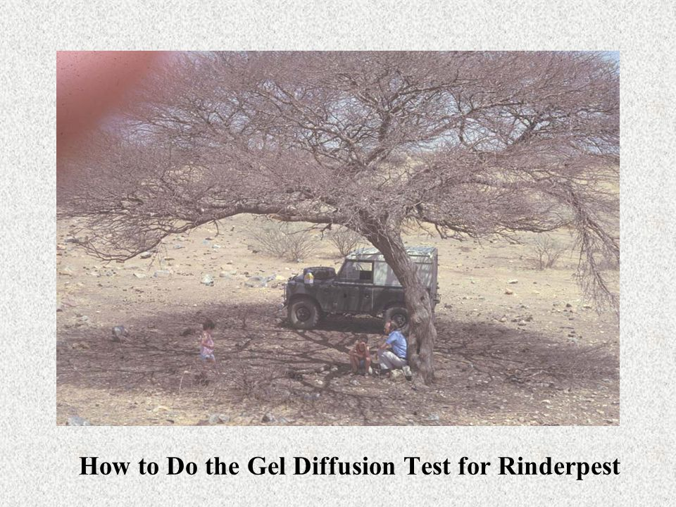 How to Do the Gel Diffusion Test for Rinderpest