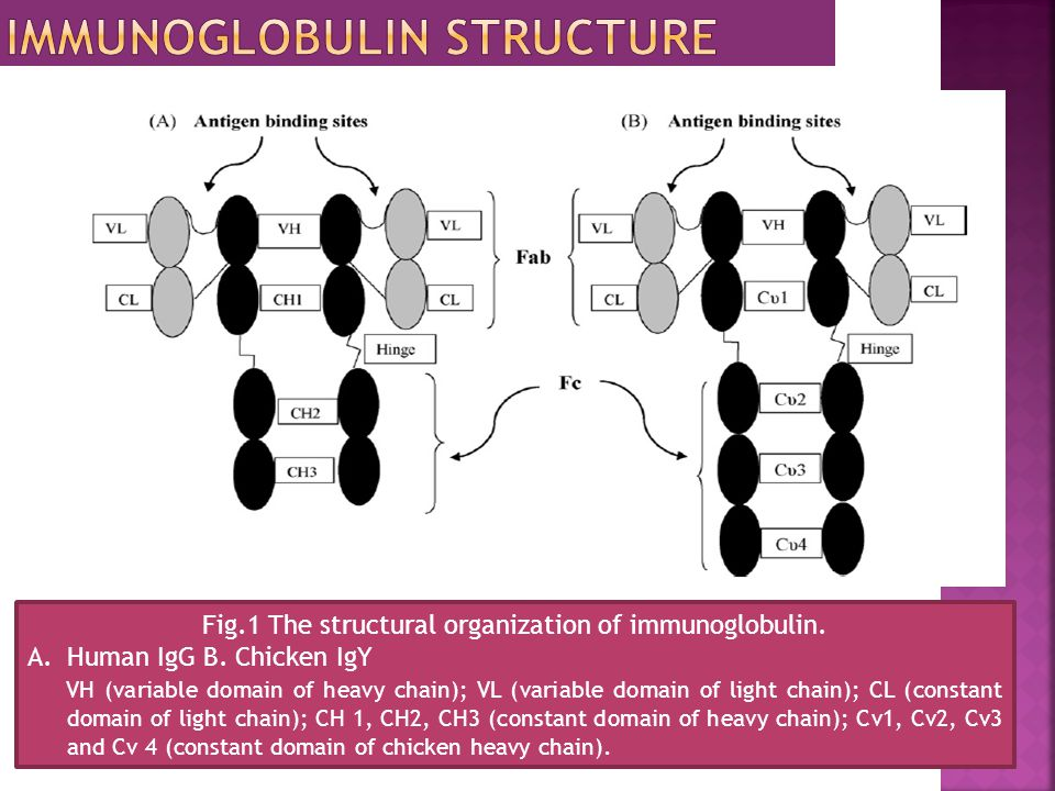 Fig.1 The structural organization of immunoglobulin. A.Human IgG B. Chicken IgY VH (variable domain of heavy chain); VL (variable domain of light chai