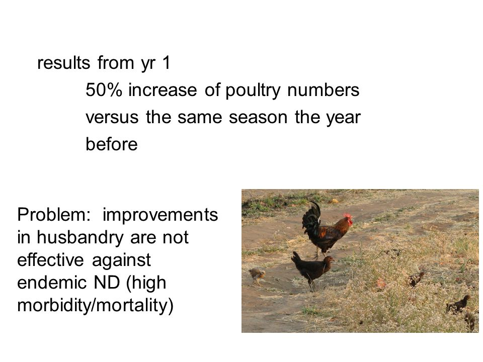 results from yr 1 50% increase of poultry numbers versus the same season the year before Problem: improvements in husbandry are not effective against
