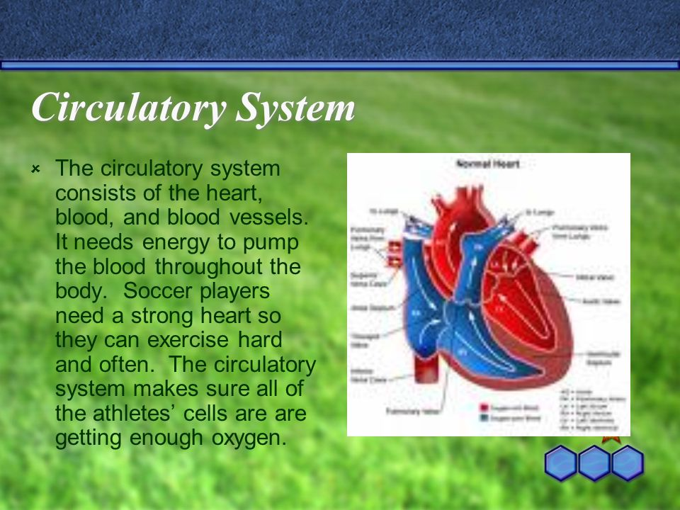 Circulatory System  The circulatory system consists of the heart, blood, and blood vessels.