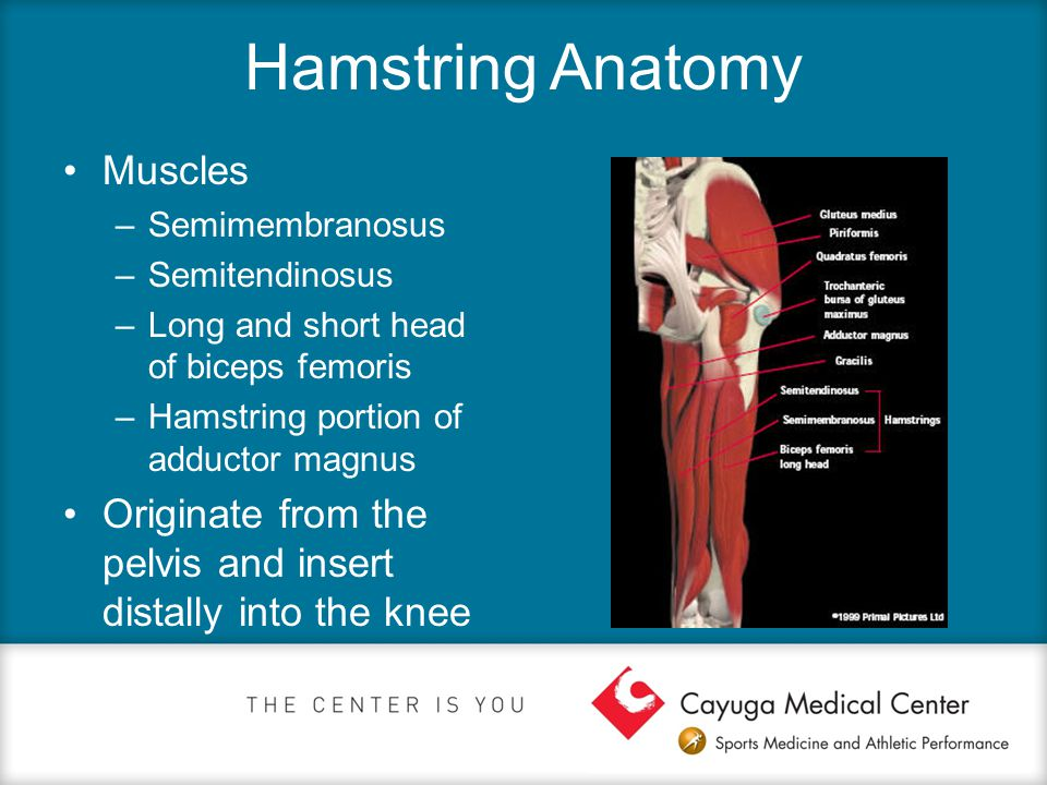 Hamstring Anatomy Muscles –Semimembranosus –Semitendinosus –Long and short head of biceps femoris –Hamstring portion of adductor magnus Originate from the pelvis and insert distally into the knee