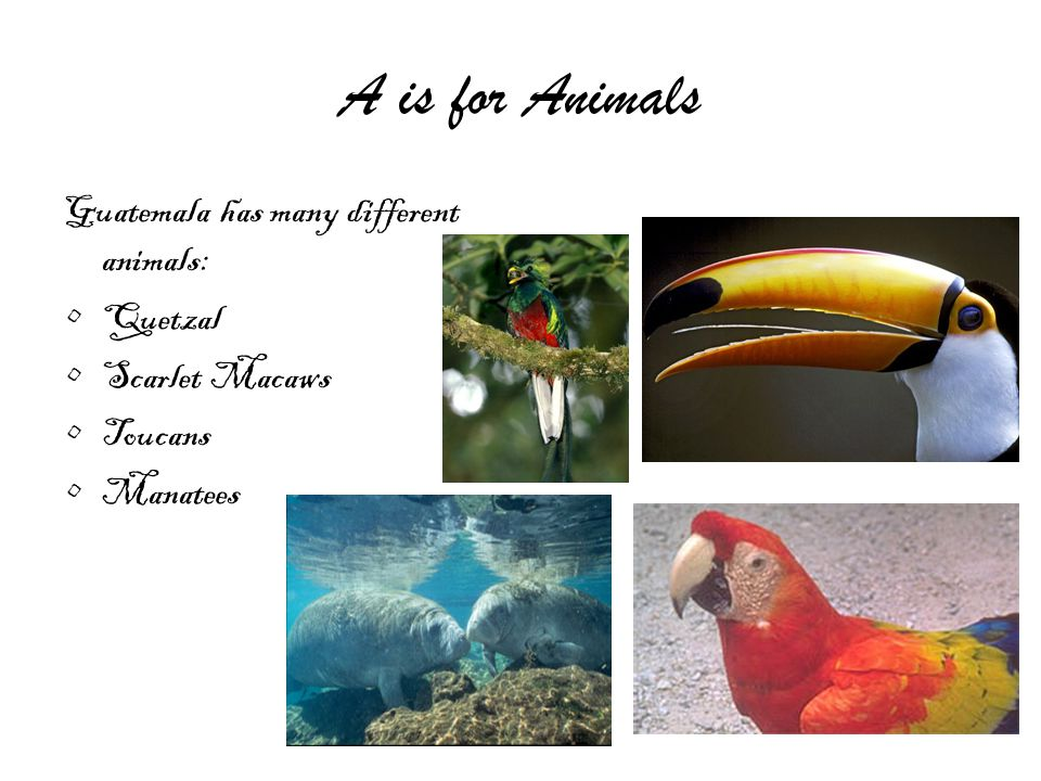 A is for Animals Guatemala has many different animals: Quetzal Scarlet Macaws Toucans Manatees