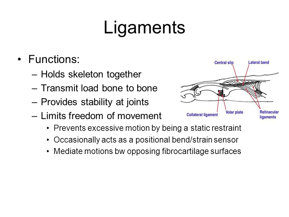 Ligaments Functions: –Holds skeleton together –Transmit load bone to bone –Provides stability at joints –Limits freedom of movement Prevents excessive motion by being a static restraint Occasionally acts as a positional bend/strain sensor Mediate motions bw opposing fibrocartilage surfaces